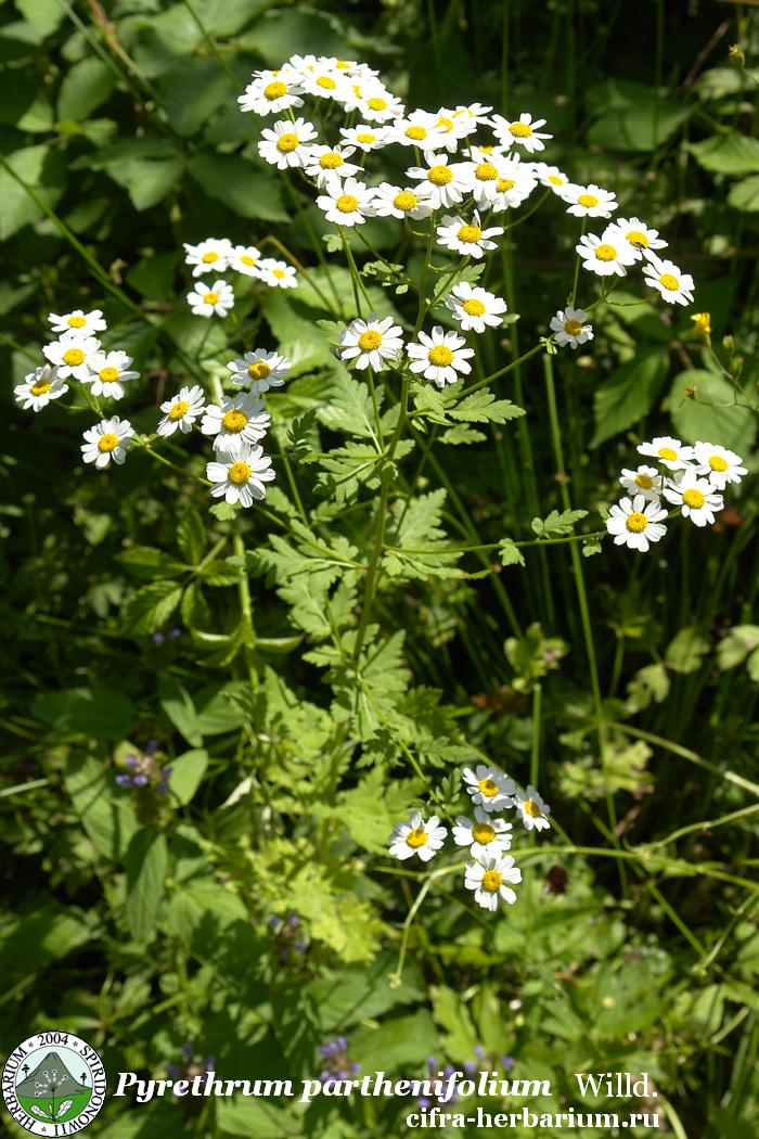 Pyrethrum parthenifolium Willd.